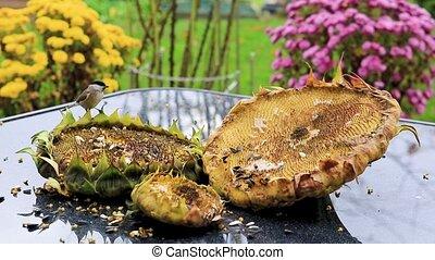 Birds pecking sunflower seeds from the sunflower. - Birds...