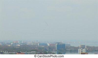 Birds - Pelicans - Birds - Colonies of pelicans flying in...