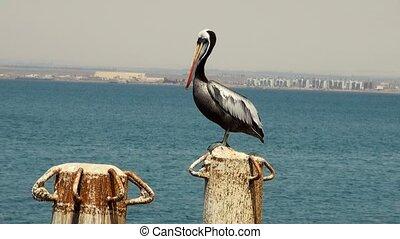 Birds - The Peruvian Pelican - Pelecanus Thagus - South America