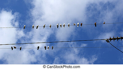 Birds (pigeons) on the electrical wires