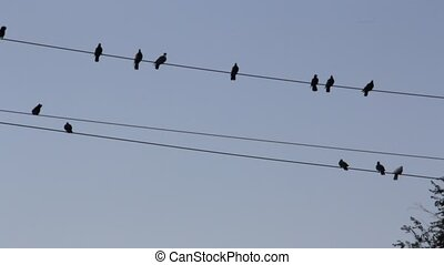 Birds pigeons  sitting on a wire