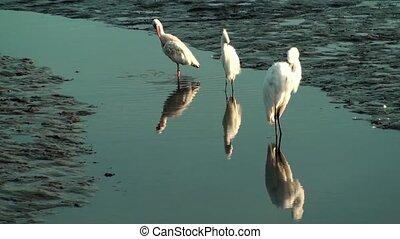 Birds preening
