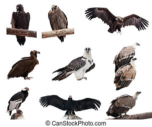 birds., sæt, hen, grib, isoleret, hvid