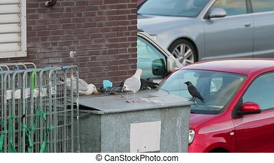 Seagulls and jackdaws searching for food waste leftovers in