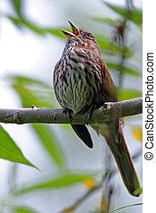 Birds - Singing sparrow.