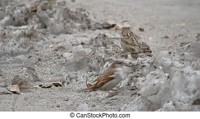 birds sparrows jumping on the ground with snow winter -...
