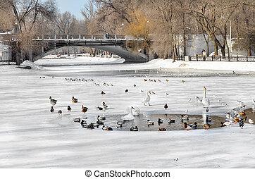 Birds swim in a pond in winter