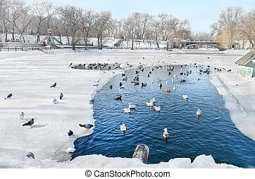 Birds swim in a pond