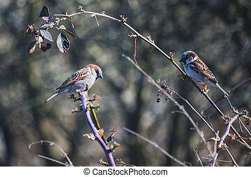 birds - two sparrows on a bush