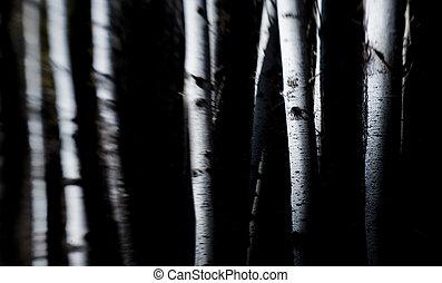 birk træ