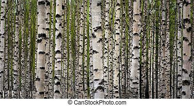 birke bäume