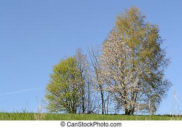 Birken im Fruehling