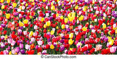 birnen, tulpenblüte, bauernhof, tulpen, gelber , lila, feld, blumen, rotes