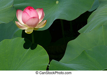 A Richly Pink Lotus Flower Begins to Open.
