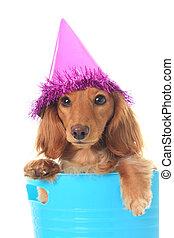 Birthday dachshund