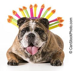 birthday dog - english bulldog wearing happy birthday hat - 2 year old brindle male