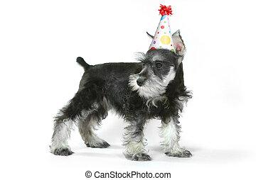 Birthday Hat Wearing Miniature Schnauzer Puppy Dog on White...