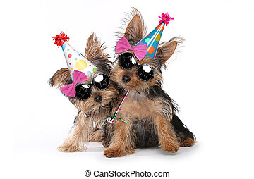 Birthday Theme Yorkshire Terrier Puppies on White - Happy...