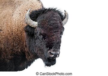 bisão americano, isolado, branco