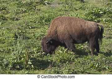 Bison #2 - A large bison feeds on grassland.