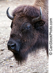 A closeup of the head of a bison