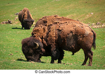 Bison (American Buffalo) in Spring Moult Grazing in Field