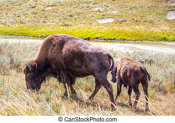 Bison and Calf Grazing at Yellowstone National Park