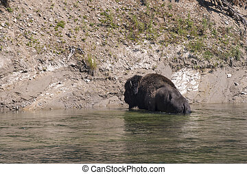 bison as it crosses the Yellowstone River in Yellowstone National Park