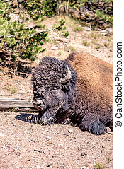 bison at yeallowstone national park in wyoming