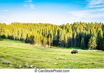 Bison graze along the Yellowstone River at Yellowstone National Park in Wyoming.