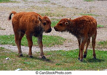 bison, babys