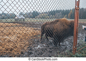 Bison behind bars in the reserve.