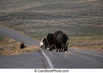 Bison Block Traffic In Hayden Valley in Yellowstone National Park