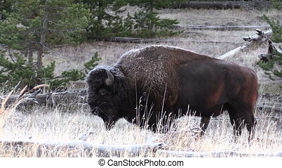 Bison Bull Zoom in - a zoom in on a bull bison on a frosty...