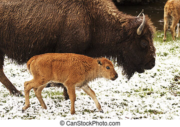 Bison Calf and Mother