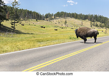 bison change the fur in Lamar Valley in Yellowstone National Park