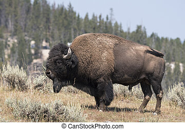 bison change the fur in Yellowstone National Park