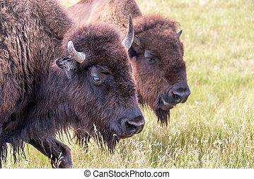Bison Closeup View