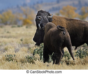 Bison cow nuzzling bull