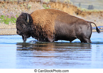Bison crossing river in Lamar Valley, Yellowstone National Park, Wyoming