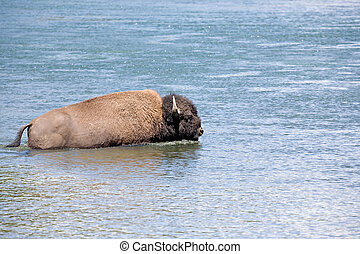 bison crossing river in yellowstone