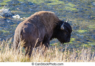 Bison drinking from the Firehole River in Yellowstone National Park