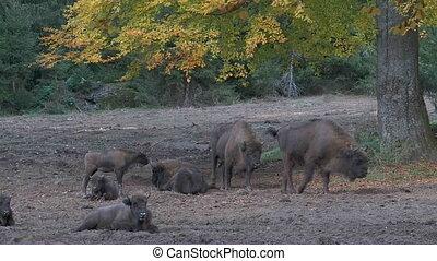 bison, européen