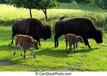 Bison family in the animal enclosure in Kiel
