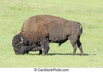 Bison Feeding in the Grasslands