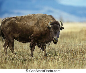 Bison gazing at camera mouth open Grand Teton National Park,...