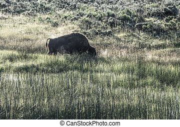 Bison Grazes in field of golden light