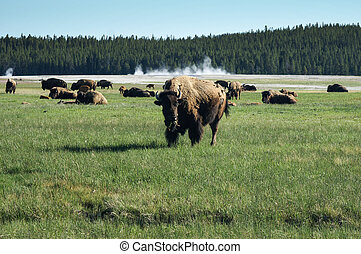 Bison grazing in Yellowstone