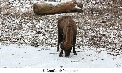 Bison grazing on a snow-covered field - Bison looks for food...