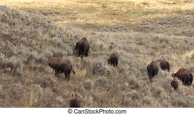 Bison Herd - a herd of bison in yellowstone national park